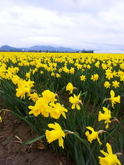 Daffodils (Nikki Cleveland) Tags: landscape flower flowers daffodil daffodils yellow fields sky laconner wa washington washingtonstate festivals nature photography beautiful peaceful skagit skagitvalley wastate garden