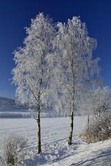 Zasněžené břízy / snowy birches / Dolní Lipka (Rostam Novák) Tags: zasněžené břízy snowy birches dolní lipka