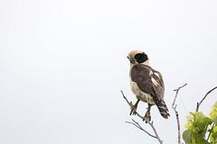 Laughing Falcon (Critter Seeker) Tags: laughingfalcon bird birds birding ornithology outdoors outside nature natural animal animals travel tropical tropicalbird aves avian costarica centralamerica raptor birdofprey