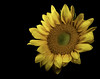 0246937377-95-sunflower-3 (Jim There's things half in shadow and in light) Tags: canon5dmarkiv focusstacking macrophotography tamronsp90mmf28dimacro11vcusd closeup flower flowers macro plant sunflower