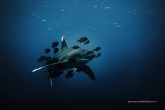 Oceanic whitetip shark (hyeronimousse) Tags: oceanic whitetip shark red sea egypt carcharhinus longimanus requin mer rouge small brother brothers island wild poisson fish sauvage dslr digital numérique sony rx100ii isotta housing inon lens blue bleu lightroom dxo filmpack 5 agfa vista 200 vintage aquitaine wide angle grand reef récif uw underwaterphotography undersea plongée sous marine seascape sealife diving dive n