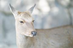 deer. (kaneko_ryo) Tags: eos5dmarkⅳ ef85mmf12liiusm deer miyajima