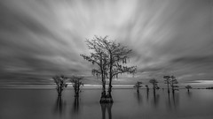 Front And Center (Travis Rhoads) Tags: 2017 sonyilce7rm2a7rii zeissbatis25mmf2 ba72l bh55 rrspcl01 gitzogt2830basaltseries2 formatthitech formatthitechfirecrest4stopnd leebigstopper leefoundationkit blackwhite clouds coastal landscapephotography longexposure monochrome nikcollectionbygoogle trees cypresstree copyright2017 travisrhoadsphotography water southcarolina lakemoultrie cypresstrees