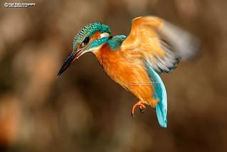 Common Kingfisher, Alcedo atthis female