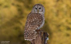 Barred Owl (salmoteb@rogers.com) Tags: bird wild barred owl outdoor nature canada