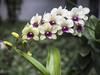 P2070203 (grethe-la) Tags: macro natur blomst orkide