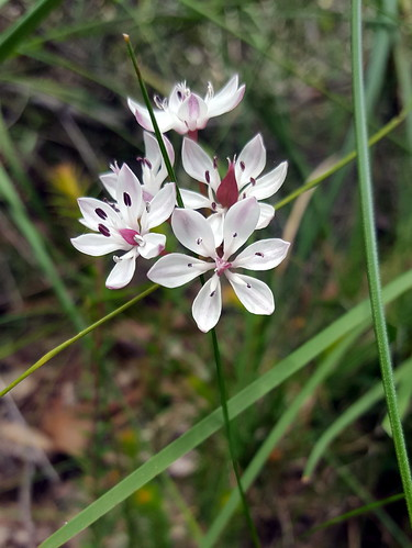 Wildflowers on the Ironbark Gorge walk at Aireys Inlet