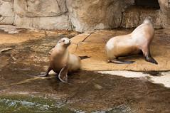 Californische zeeleeuw - Califoinia sea lion (Den Batter) Tags: nikon d7200 blijdorp dierentuin zoo zeeleeuw sealion zalophuscalifornianus