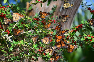 Monarchs at St. Marks National Wildlife Refuge