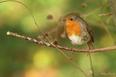 Another Robin I couldn't resist ! (ronalddavey80) Tags: robin redbreast canon eos70d tamron 70300mm