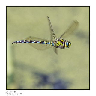 Enter the Dragon - Southern Hawker in flight (Aeshna cyanea)