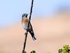 Western Bluebird (Ciosog) Tags: westernbluebird