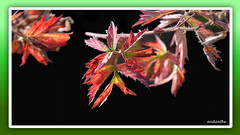 1 of 14 flowers, plants, animals in my garden October 2017 (12) (andantheandanthe) Tags: autumn october garden 2017 close closeups macro wither plant plants leaf leafs fall red greeen