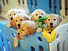 lulu and friends (thehappypaws) Tags: goldenretriever puppy