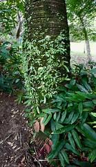 Seedlings of Platycerium bifurcatum - Elkhorn Fern on a Triangle Palm (Dypsis decaryi) (Black Diamond Images) Tags: platycerium platyceriumbifurcatum polypodiaceae elkhornfern elkhorn arffern arfseedling arfp subtropicalarf littoralarf dryarf swamparf wetsclerophyllaf arfepiphyte arflithophyte trianglepalm dypsisdecaryi syzygiumwilsoniisubspwilsonii myrtaceae powderpufflillypilly rnrfgdb rnrfgdbarfp appleiphone7plus iphone7plus iphone