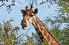 Giraffe, Timbavati (Mike/Claire) Tags: giraffe 2016 southafrica tandatula timbavati