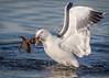 The last battle (cbjphoto) Tags: avian bolsachica reserve bird western ecological photography gull carljackson