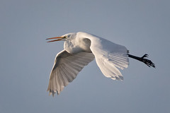 Egret flight (alicecahill) Tags: morning usa wild ©alicecahill sanluisobispocounty graceful bird centralcoast flying egret greategret california morrobay