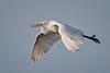 Egret flight (alicecahill) Tags: morning usa wild ©alicecahill sanluisobispocounty graceful bird centralcoast flying egret greategret california morrobay