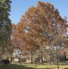Red Oak @ home (Mr. History) Tags: oak tree redoak street blue