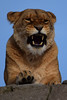 Aïsha @ Wildlands Adventure Zoo Emmen 11-03-2017 (Maxime de Boer) Tags: aïsha african lion lioness afrikaanse leeuw leeuwin panthera leo big cats katachtigen wildlands adventure zoo emmen dierentuin dierenpark animals gods creation schepping genesis design ontwerp kunst art artist creator schepper designer