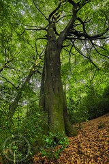 Honley Wood Scotgate Aug 2017 052 (Mark Schofield @ JB Schofield) Tags: trees wood woodland ancient tall old bark trunk branch huddersfield honley woods meltham yorkshire oak leafy leaves