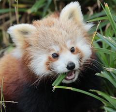 red panda Blijdorp BB2A5679 (j.a.kok) Tags: panda redpanda rodepanda animal blijdorp asia azie china mammal zoogdier dier kleinepanda