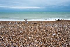 Seven Birds (AB 7) Tags: seagull gull bird pebble beach worthing sussex england uk gb 7 seven