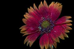 Blanketflower Blooming 4 s (C. Burrows) Tags: uvivf flower botany nature blanketflower
