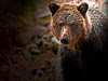 Down the lens (Spectacle Photography) Tags: grizzly grizzlybear grizzlybears ursusarctos britishcolumbia westerncanada canada wildlife wildlifewatching wild autumn northamerica nature animalsinthewild spectaclephotography