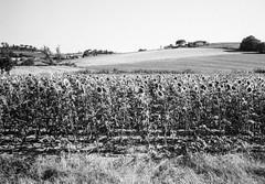 Landscape with sunflowers, Tuscany. Leica M6, 35mm Summciron ASPH, Fomopan 100 (nickdemarco) Tags: rangefinderchronicles blackwhite film leicam6classic 35mmsummicronasph italy fomopan tuscany