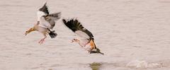 Duplicid precipitancy (Coisroux) Tags: action movement haste flight wings precipitancy duplicid d5500 nikond wingspan fluidity birds waterbirds wildlife kwandwe birdsinflight geese