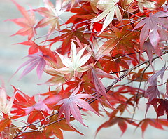 flying into a passion (Rococo57) Tags: rococo57 red silver shiny wind leaves nature light game autumn