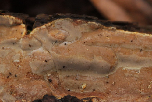 Scytinostroma hemidichophyticum