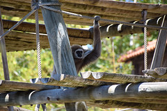 On the Lookout (Lisbon Zoo) (joelpwilliams) Tags: animal animals nature naturephotography monkey lisbon portugal zoo lisboa structure composition lookout patrol wood woods exterior summer summertime europe lens travel travelphotography trip traveling day daytime bright green vibrant building perspective activity capital still wildlife followback follow4follow bokeh blur nikon life lines zoom zoomlens colours city candid converging bestofflickr