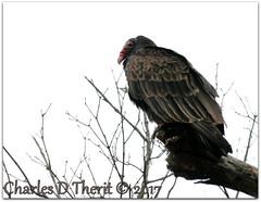 """Is it dead yet?"" (ctofcsco) Tags: canon explore northamerica superzoom usa eos1d x mark ii ef28300mm f3556l is usm canoneos1dxmarkii ef28300mmf3556lisusm 1d 1dx 1dxii mark2 esplora explored eos bird tree vulture renown photo digital pic telephoto iso50 1640s 300mm f56"