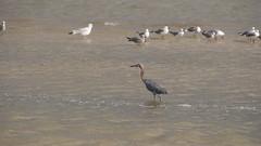 DSC04909 (Matthew283) Tags: bolvar wildlife 11182017 reddish egret