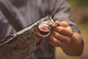 Tellico Trout (Brad Lackey) Tags: trout rainbowtrout fish flyfishing tellicoriver tellicoplains tennessee blueridgemountains appalachianmountains outdoors hiking river forest orvis catchandrelease summer bokeh nikon70200mmf28 d7200