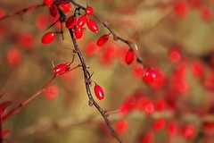 La nature en novembre -1- (mamietherese1) Tags: earthmarvels50earthfaves world100f phvalue ngc saariysqualitypictures fruit thorns