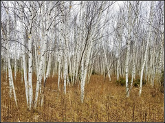 Birches (straight photo) (Jeremy Pardoe) Tags: