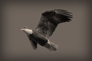 Conowingo Eagle (in sepia!) (Explored 11/29/2017--Thank you!!!)