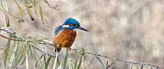 Male King Fisher (nickcross2906) Tags: kingfisher rspb hertfordshire