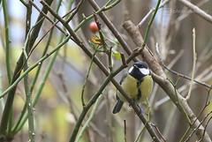 birdie (photos4dreams) Tags: birdhouse112017p4d greattit kohlmeise photos4dreams photos4dreamz p4d vogelhaus vogel bird birdy meise birdhome herbst autumn rotkehlchen robin mysecretgarden