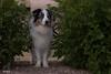 On Patrol (Jasper's Human) Tags: aussie australianshepherd patrol