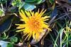 dandelion blooming at Lake Meyer Park IA 854A8926 (lreis_naturalist) Tags: dandelion flower blooming lake meyer park winneshiek county iowa larry reis