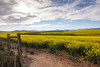 Canola Fields - Overberg - South Africa 2017 (Wilma v H-Thankfull for all your lovely comments a) Tags: overbergsouthafrica overberg caledon hermanus canola canolafields landscape flowers yellowflowers clouds mountains rural farmland farms southafrica2017 southafrica suidafrika skies canoneos60d luminositymasks tkactionsv5panel outdoors holiday travel hemelenaarde westerncape