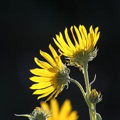 Sunflowers (mclcbooks) Tags: flower flowers floral denverbotanicgardens colorado summer yellow