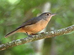 Little Shrike-thrush (Colluricincla megarhyncha) (Graham Winterflood) Tags: bird littleshrikethrush colluricinclamegarhyncha canoneos7d taxonomy:binomial=colluricinclamegarhyncha geo:country=australia