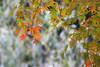 Japanese Maple (Lawrence OP) Tags: japan tokyo maple leaves japanesemaple