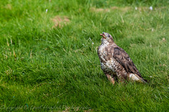 Buzzard eating a balanced diet - (Buteo buteo) 'L' for large (hunt.keith27) Tags: woodland moorland scrub pasture arable marsh bog villages buzzard buteobuteo raptor beak tourists'eagle birdofprey woods trees perched bird scavenger hawk